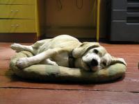 Besinka (Beagle) mne hlídá...