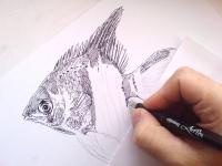 Skalár - perokresba, akvarijní ryba, začátek kresby
