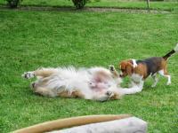 Beagle Máňa a její kamarád Benža