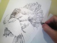 Krůta domácí - kresba