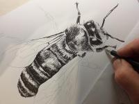 Včela medonosná - perokresba