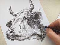 Kráva - perokresba