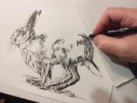 Zajíc polní - perokresba