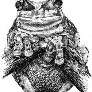 Žába - perokresba