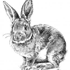 zajíc, králík