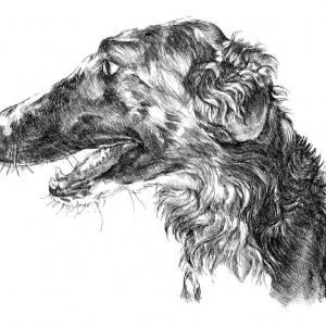 pes,  barzoj-ruský chrt