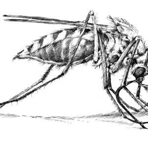 Komár pisklavý (Culex pipiens)