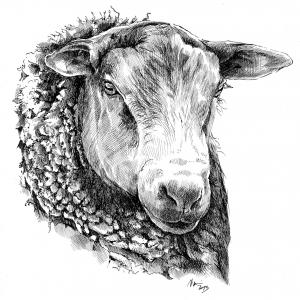 Ovce domácí