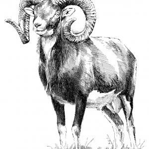 Muflon evropský