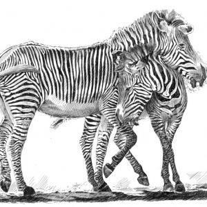 Zebra - perokresba