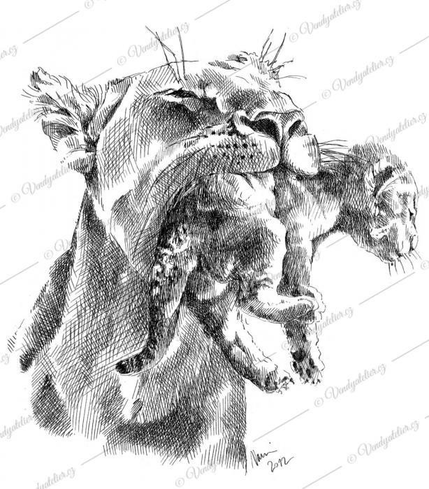 Lvice, zvířecí máma, lev