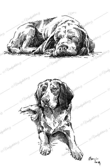 Beagle Karin