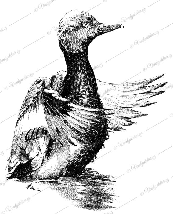 Zrzohlávka Rudozobá