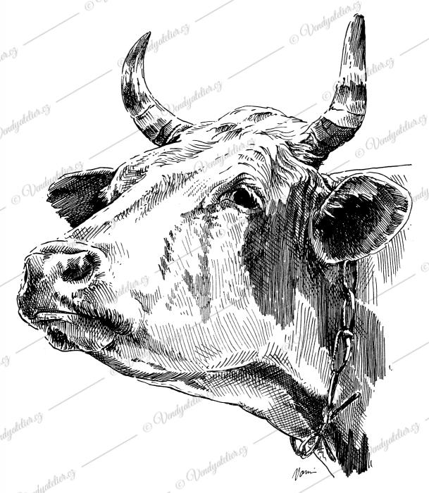 Kráva - tur domácí