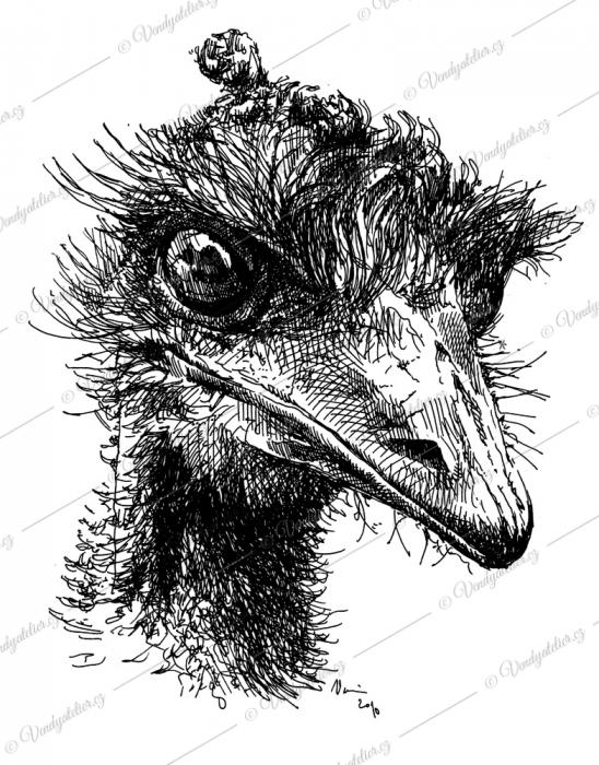 Pták - pštros