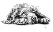 Kokršpaněl štěně