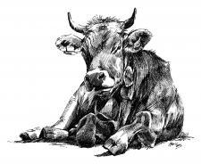 Kráva, ne vůl....