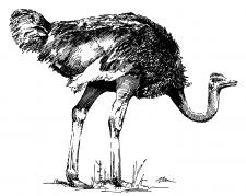 Pštros dvouprstý
