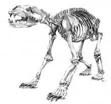 Medvěd - kostra