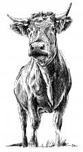 Býk - Vůl